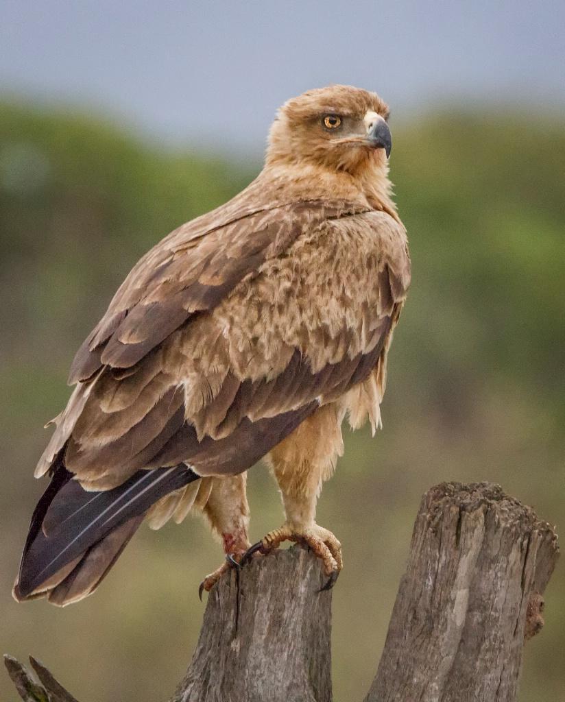 Tawny Eagle  9515