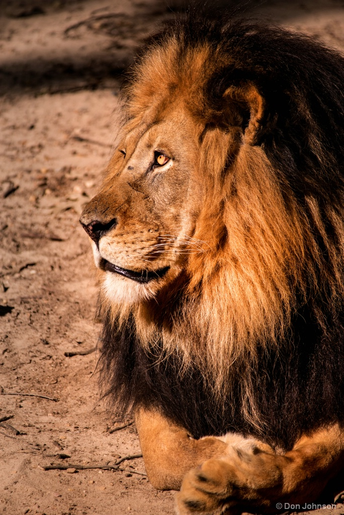 Male Lion Profile 8-26-17 238