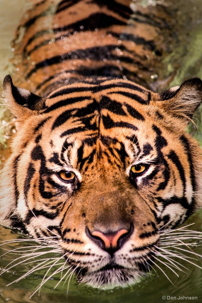 Swimming Tiger 8-13-17 129