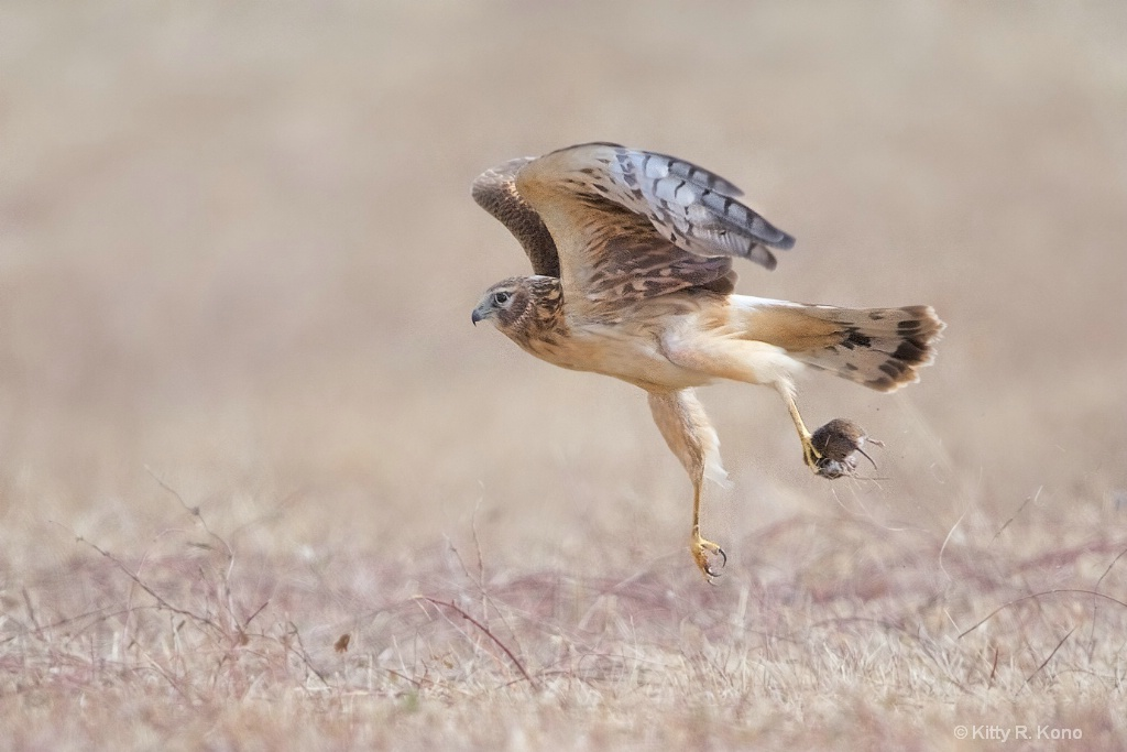 Harrier with Vole