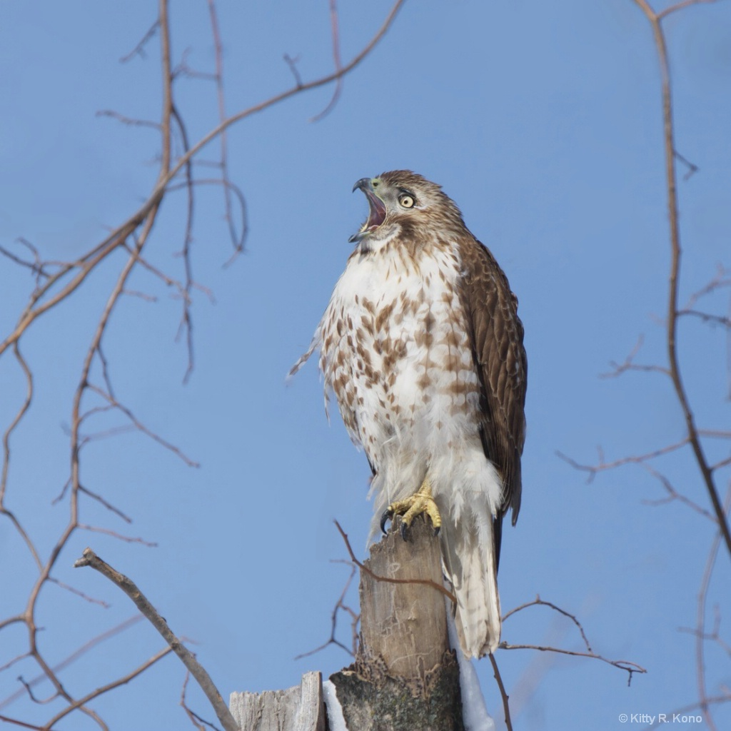 Young Red Tail Reacting to Today's News