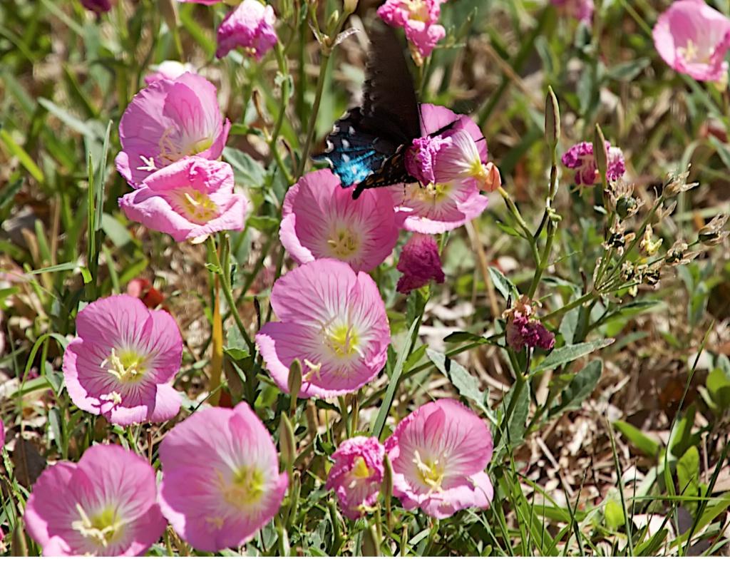 Swallowtail on primrose