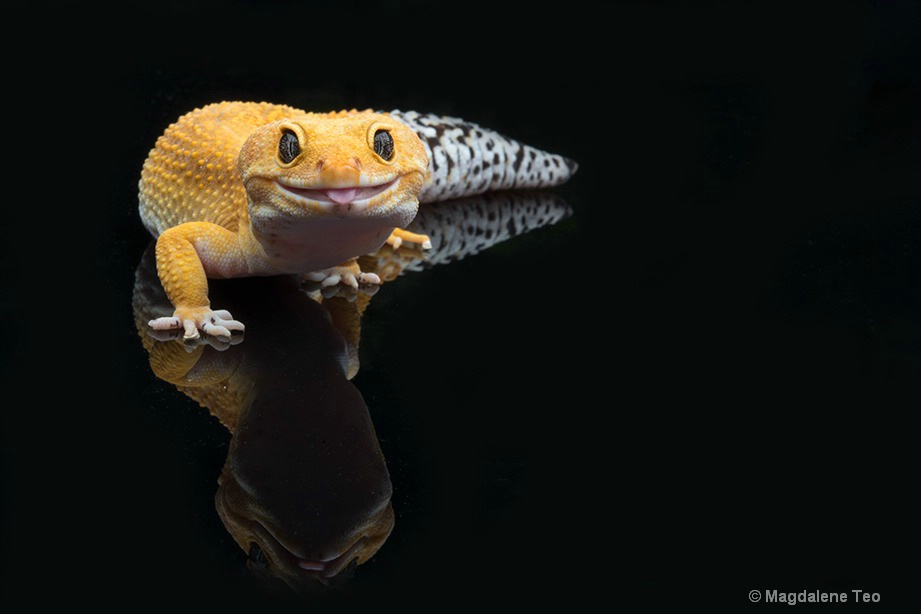 Macro - Leopard Gecko with tongue sticking out