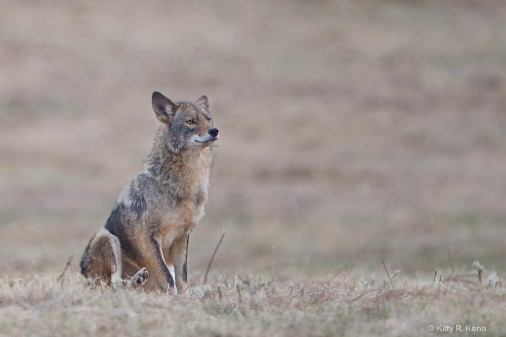 The Seated Coyote