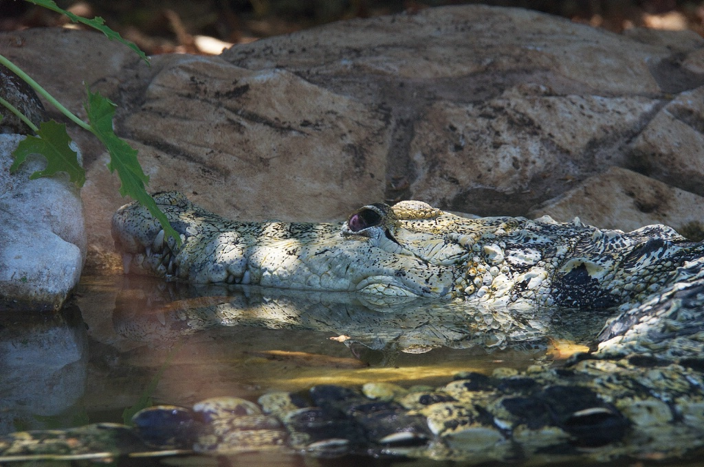 Croc in Pond