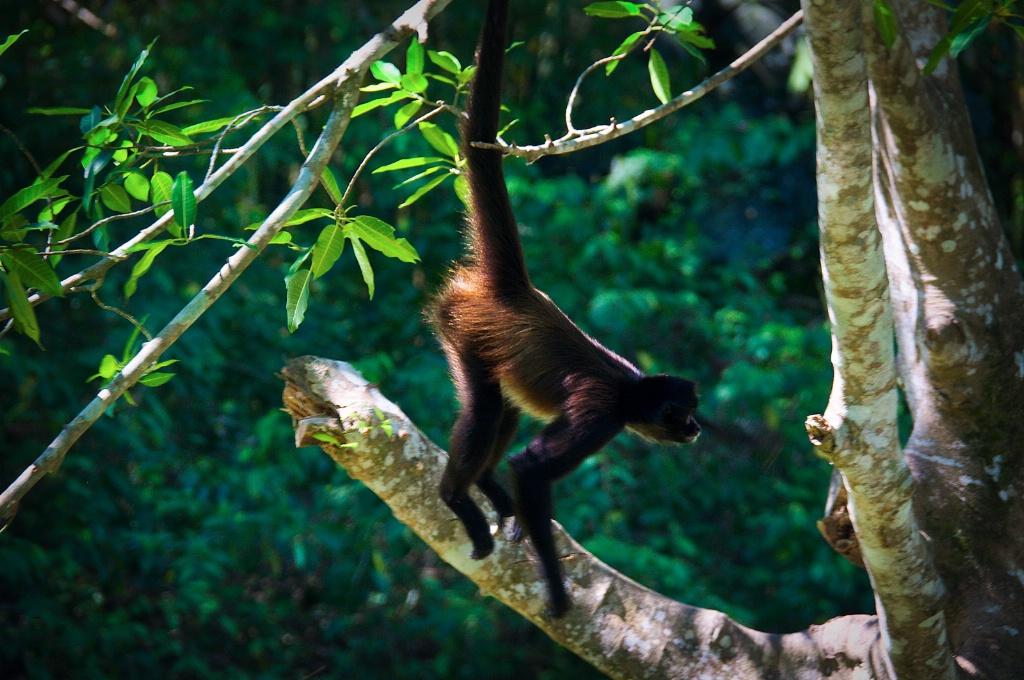 Monkey in Chiapas