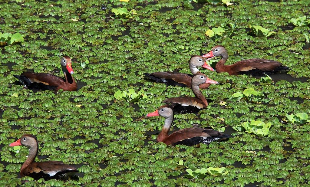 Ducks in Chiapas