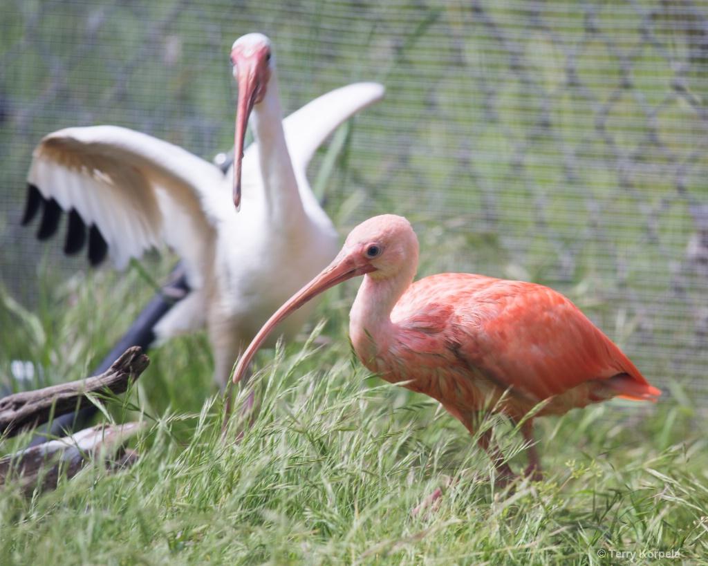 Scarlet Ibis and White Ibis