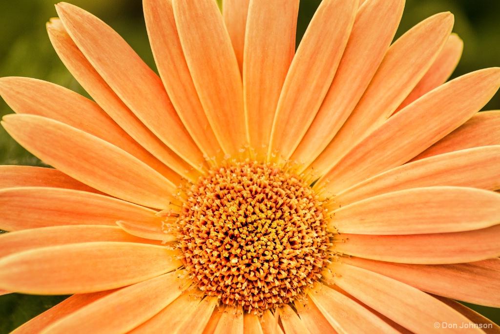 Pale Gerbera Daisy 5-6-18 577