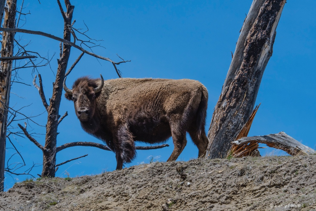 Bison in Yellowstone # 2