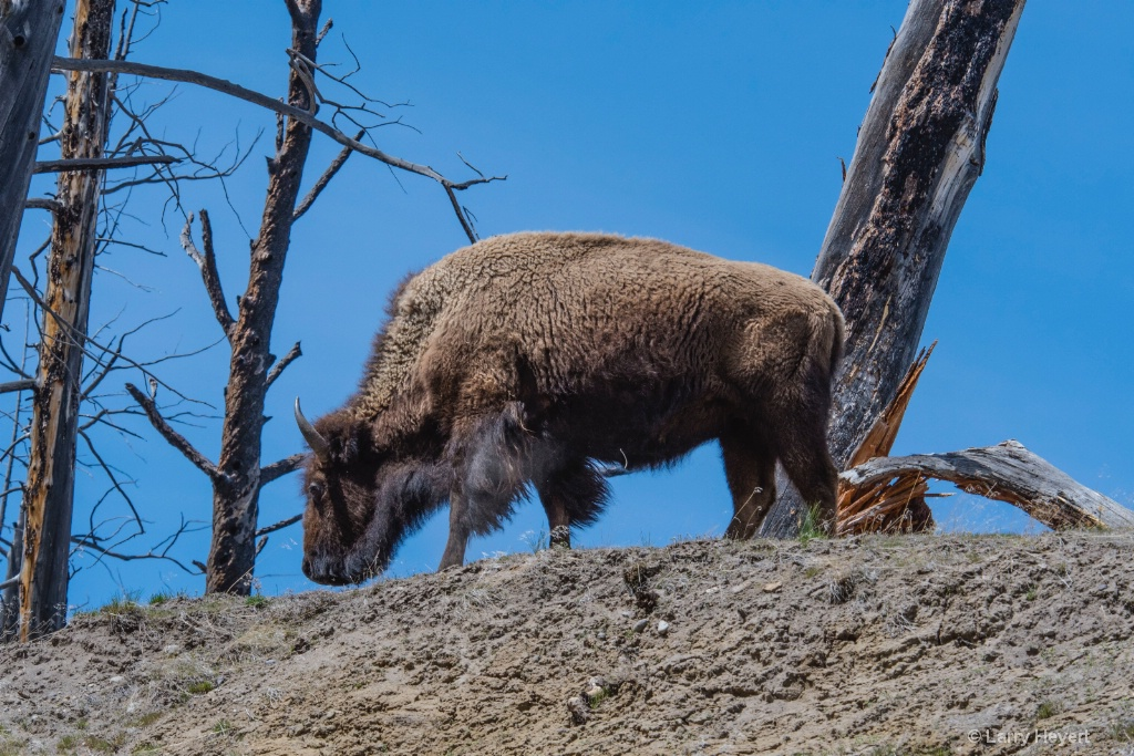 Bison in Yellowstone # 4