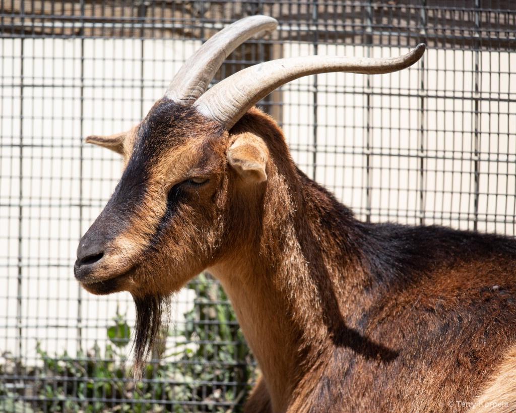 San Clemente Island Goat