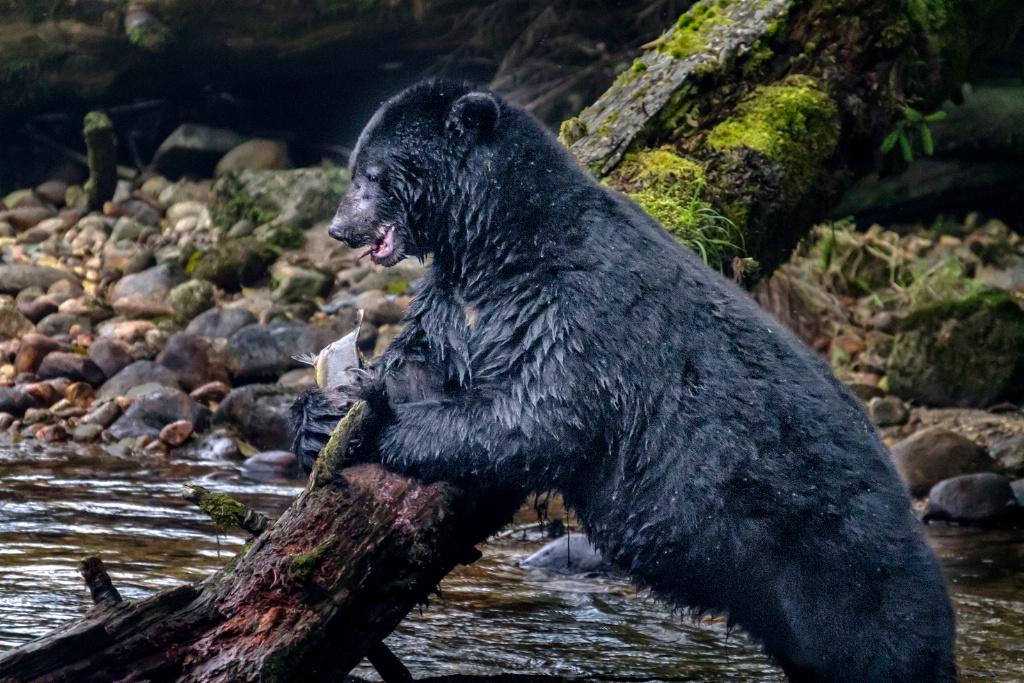 Black Bear Lunch  9379