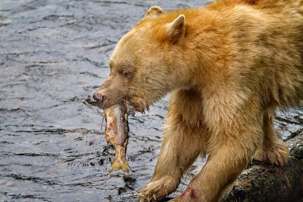 Spirit Bear Take Out  9636