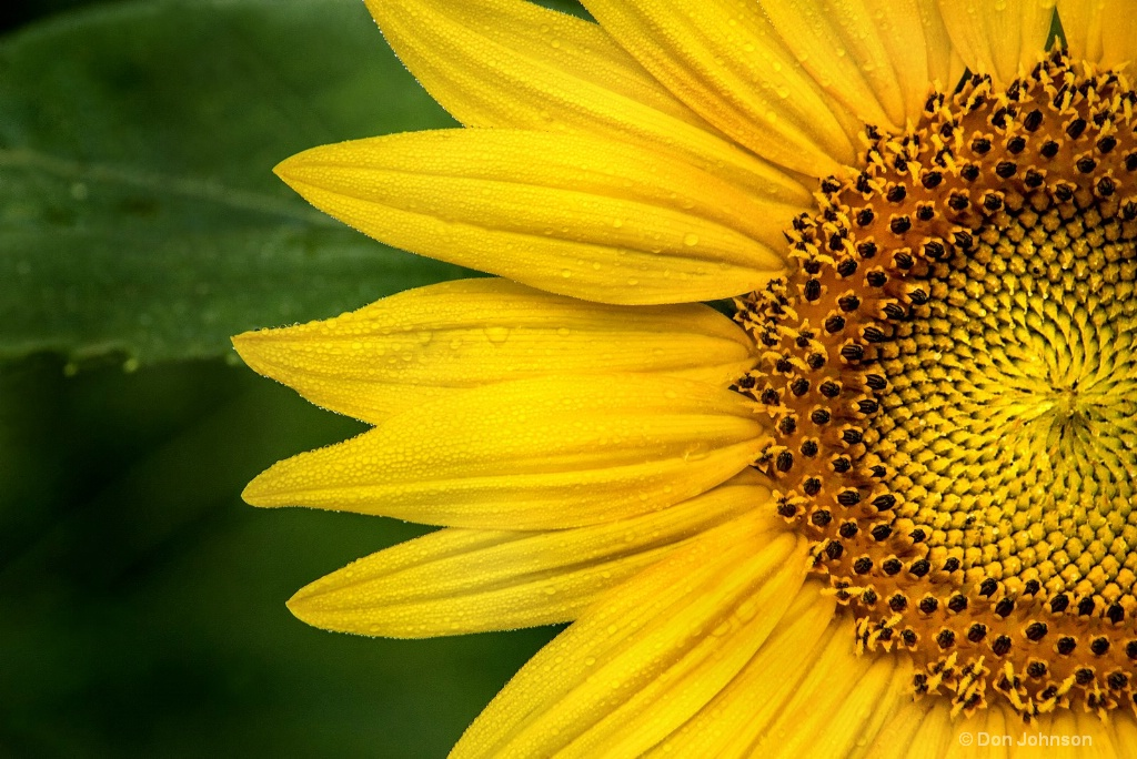 Partial Sunflower 3-0 F LR 7-13-18 J169