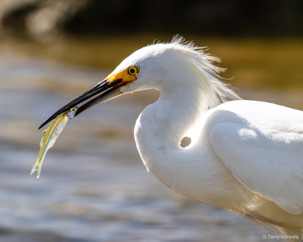 Good Day Fishing for a Snowy Egret
