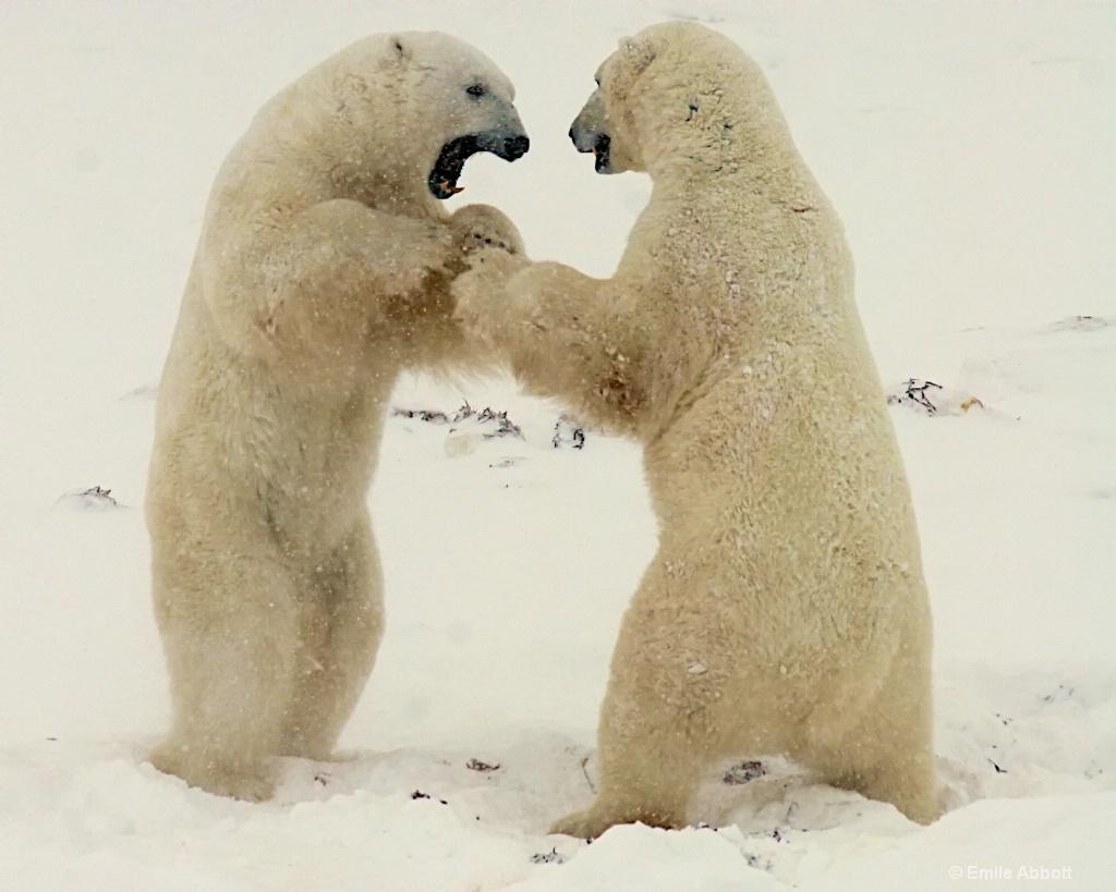Polar Bear Dance 1