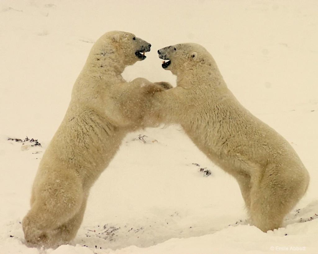 Polar Bear Dance 2