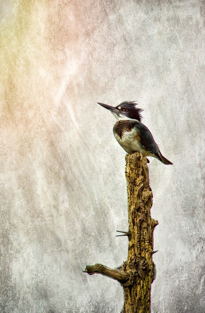 Kingfisher with Textured background