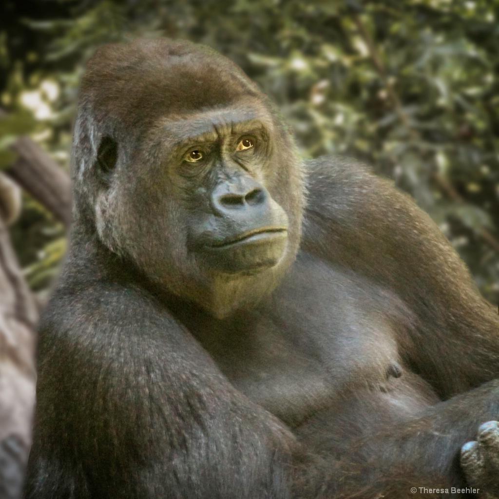 Gorilla - color