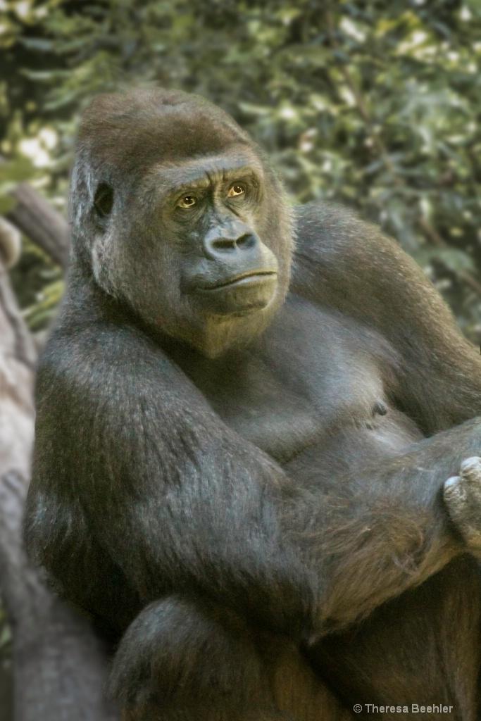 Gorilla - pose