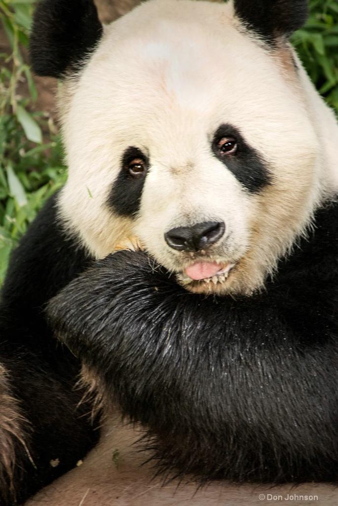Panda-NZ 3-0 F LR 8-5-18 J081