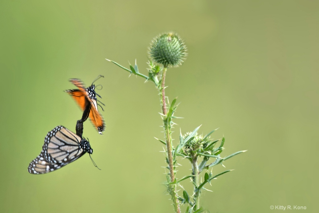 Mating Monarchs in Mid Flight