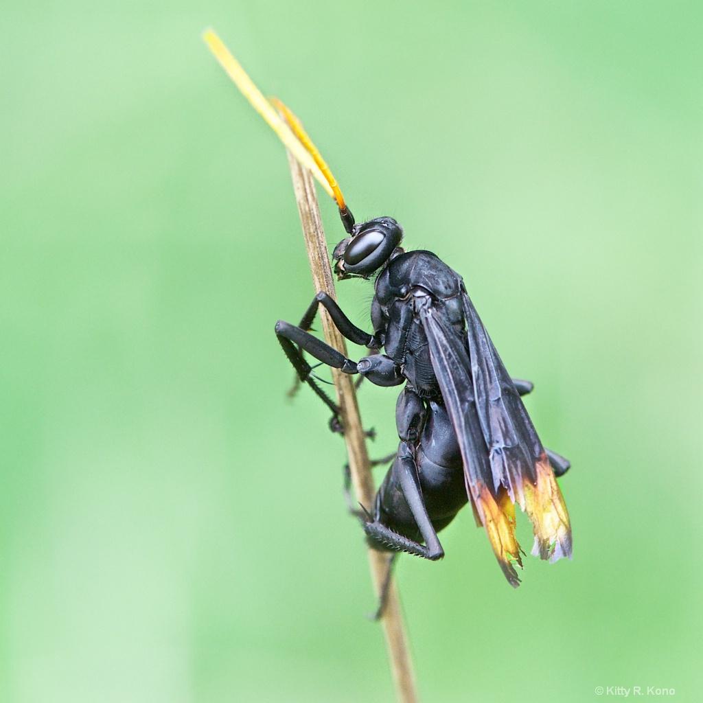 Darth Vader Like Spider Wasp