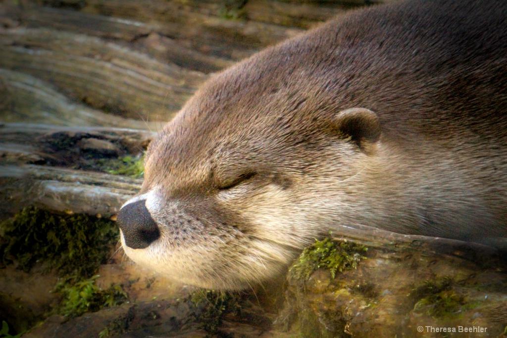 Shh . Sleeping Otter
