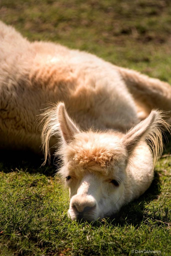 Tired Llama 3-0 F LR 8-26-18 J099