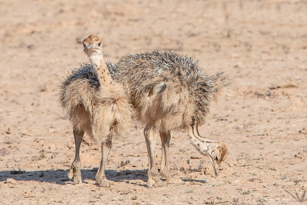 Two Baby Ostriches