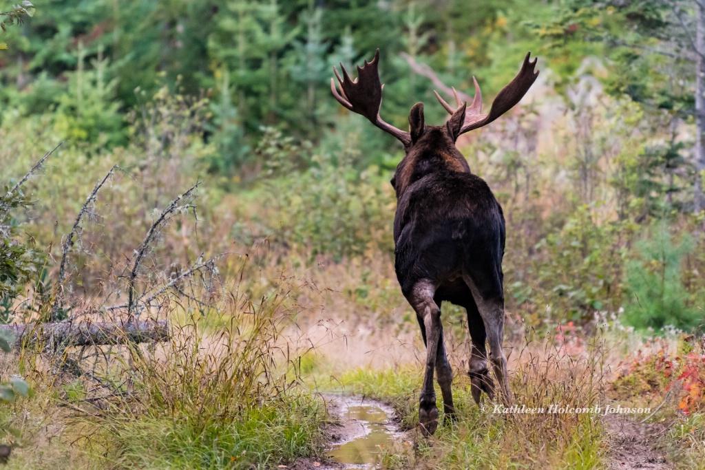 Run Moose Run!