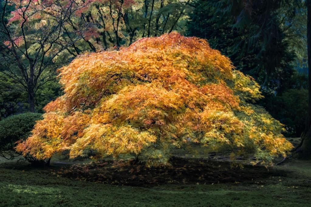 Glowing Japanese Maple  2472