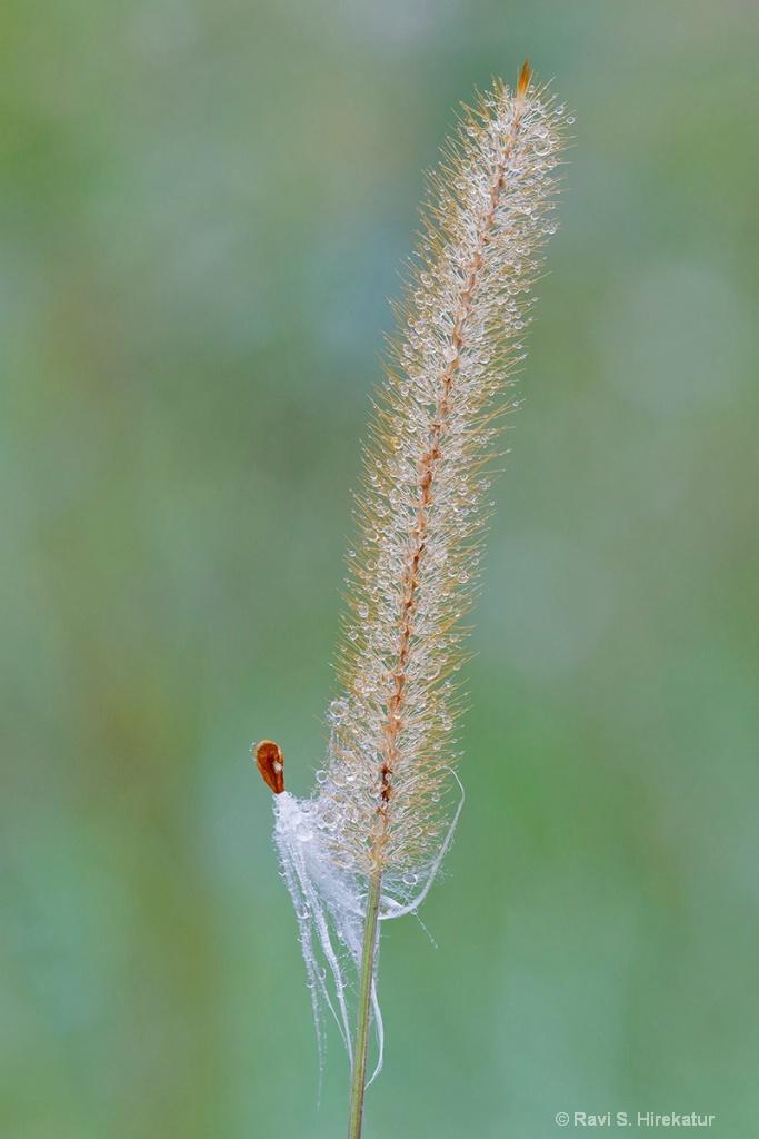 Milkweed seed on Yellow Foxtail