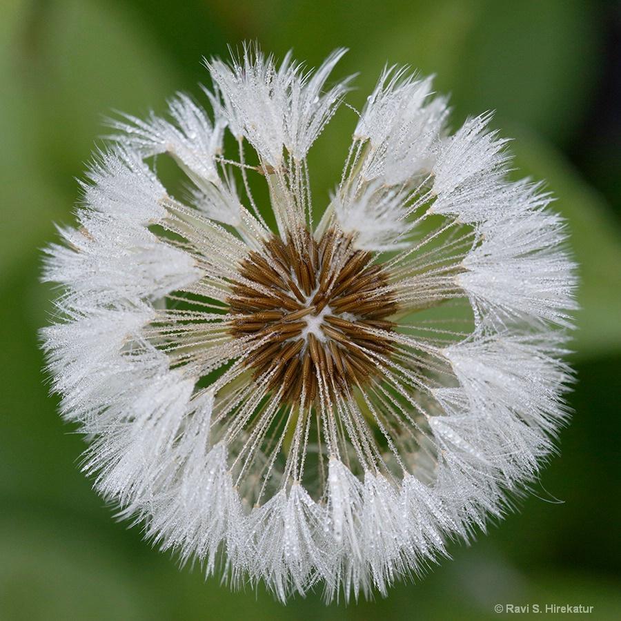 Dandelion pod