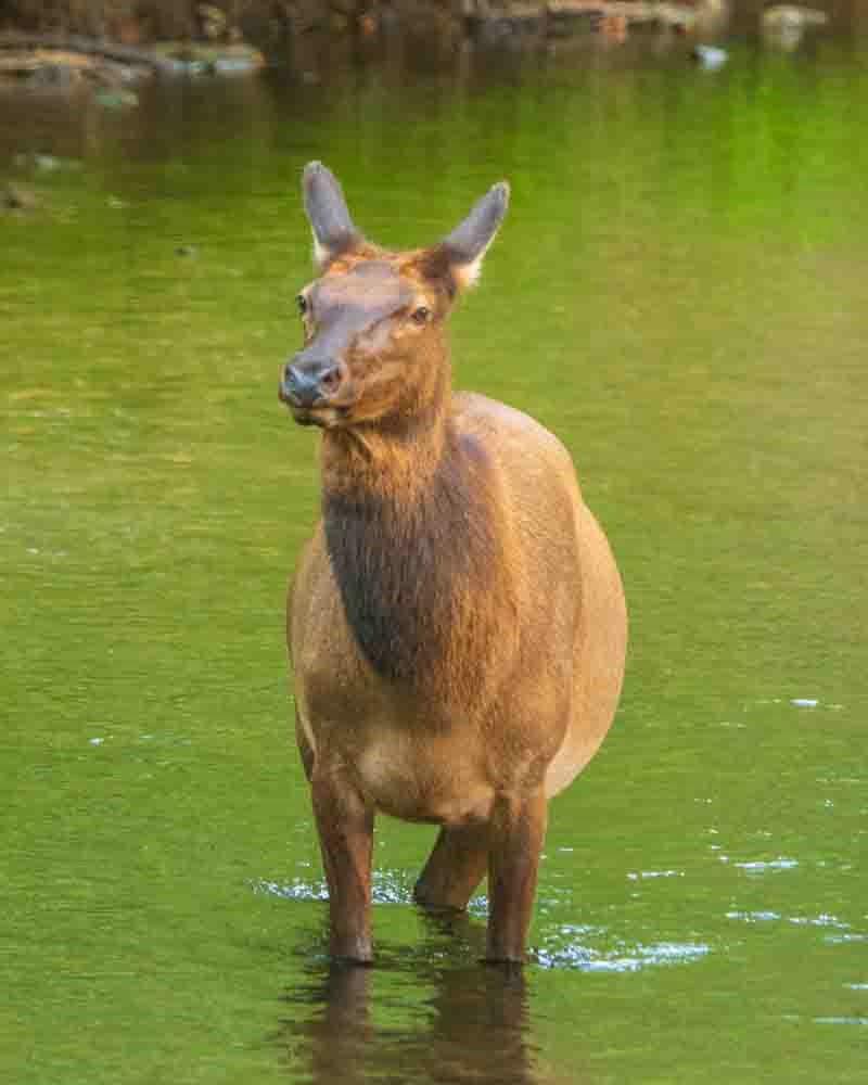 Regal Elk