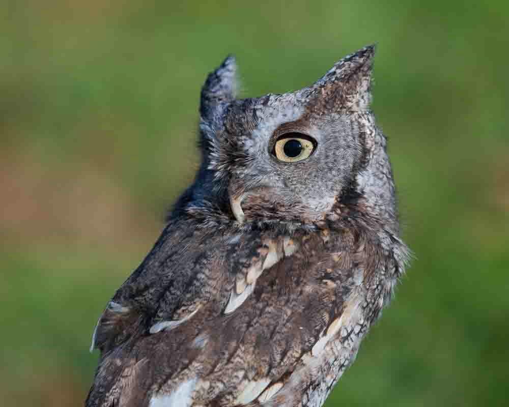 Grey Morph Screech Owl