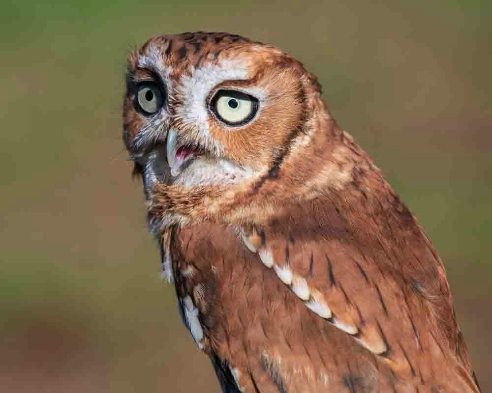 Brown Morph Screech Owl