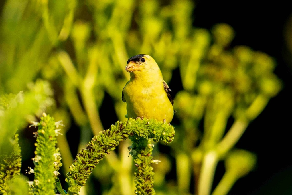Goldfinch Pose