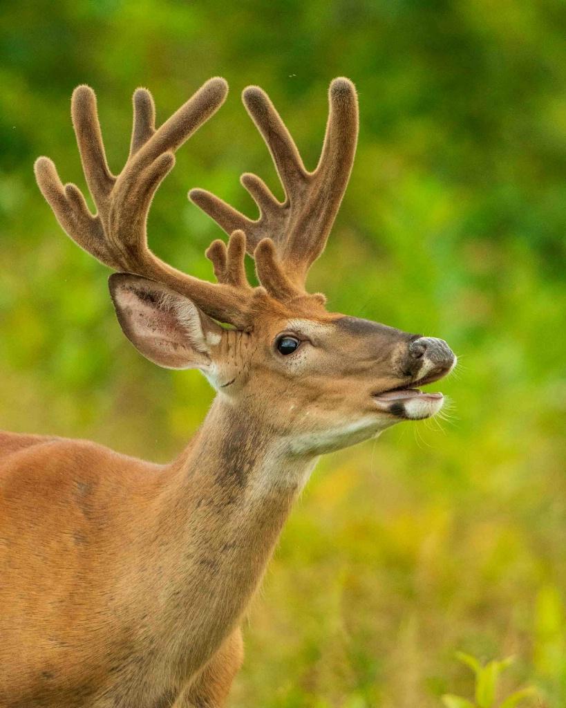 Calling All Deer