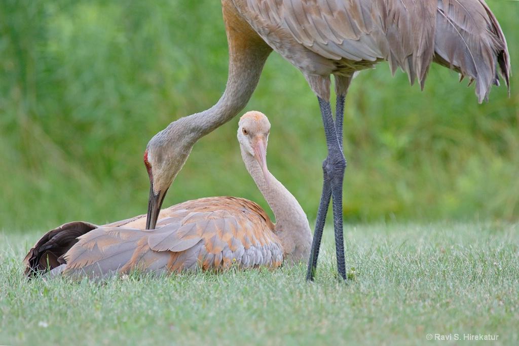 Sandhill Crane Parent Grooming the Chick