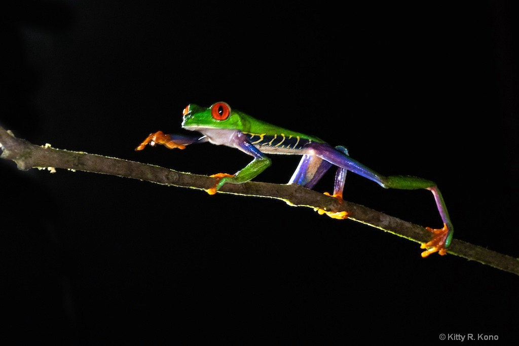 Red Eyed Tree Frog Taking a Walk