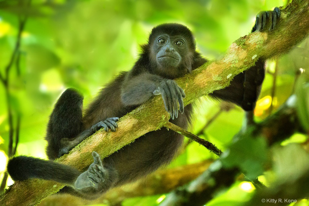 The Beautiful Face of the Howler Monkey 1