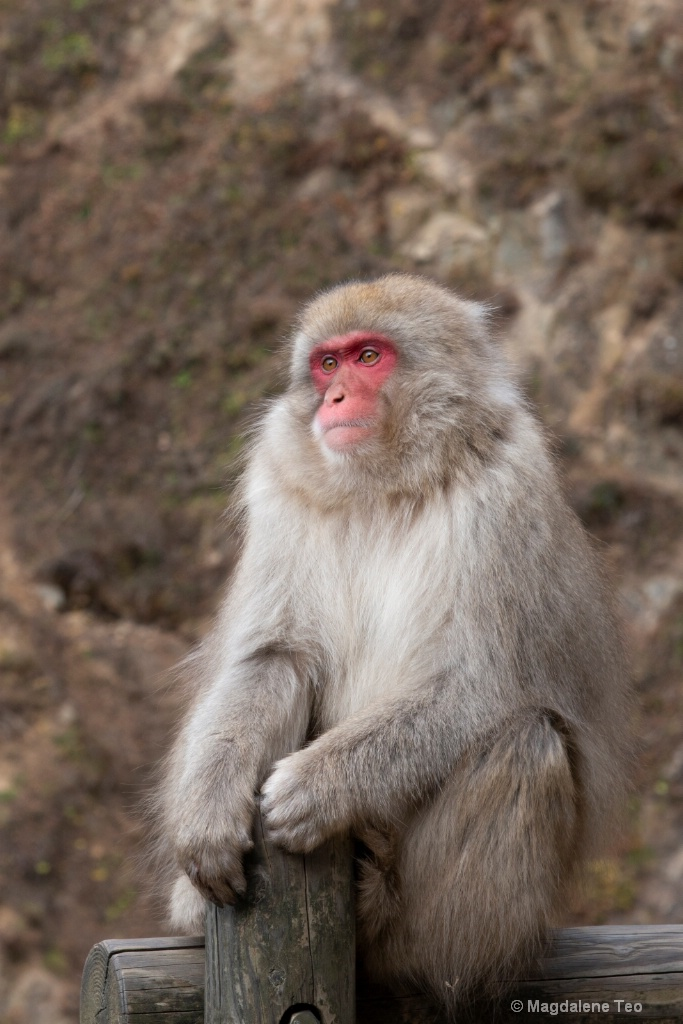 Snow Monkey in Contemplation