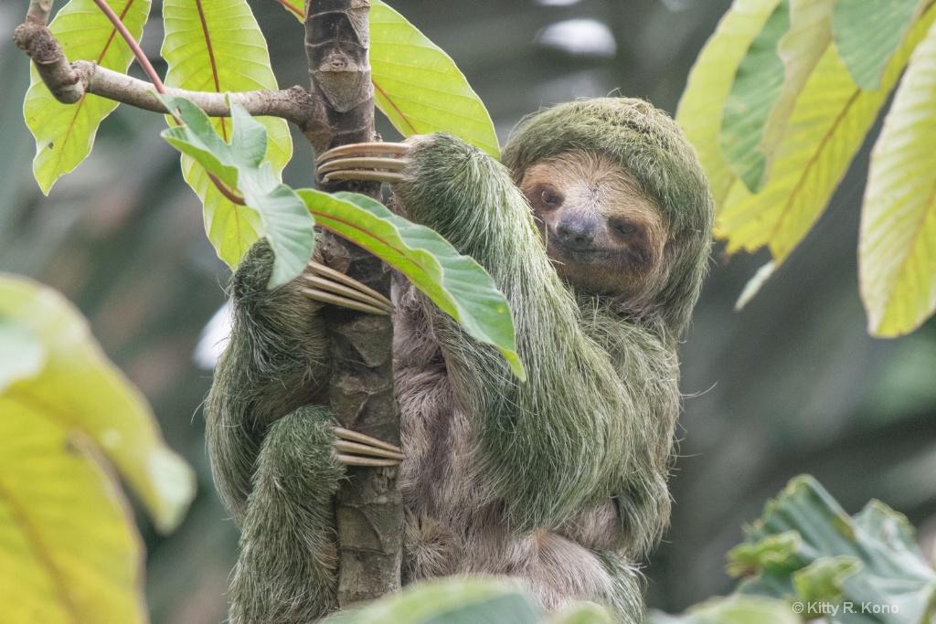 Three Toes of the Three Toed Sloth