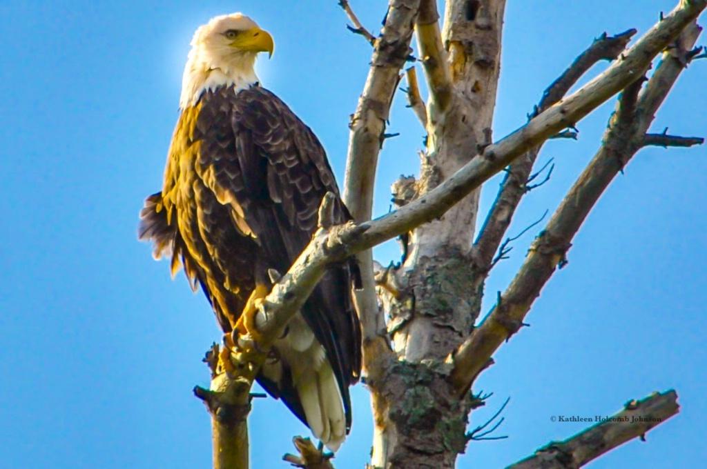 Majestic Eagle...