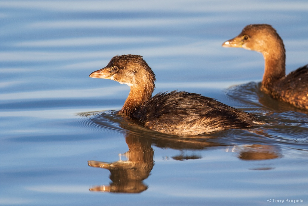 Young Pied-bill Grebe with adult behind it