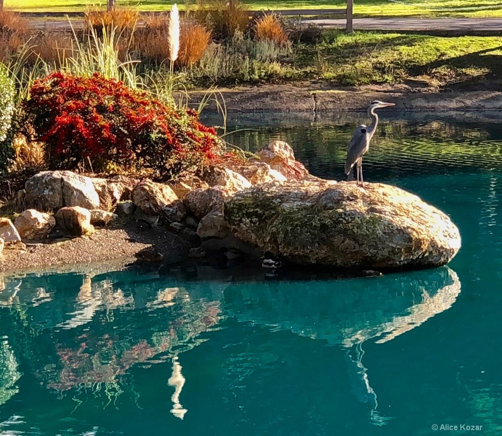 Great Blue Heron Returns!!!