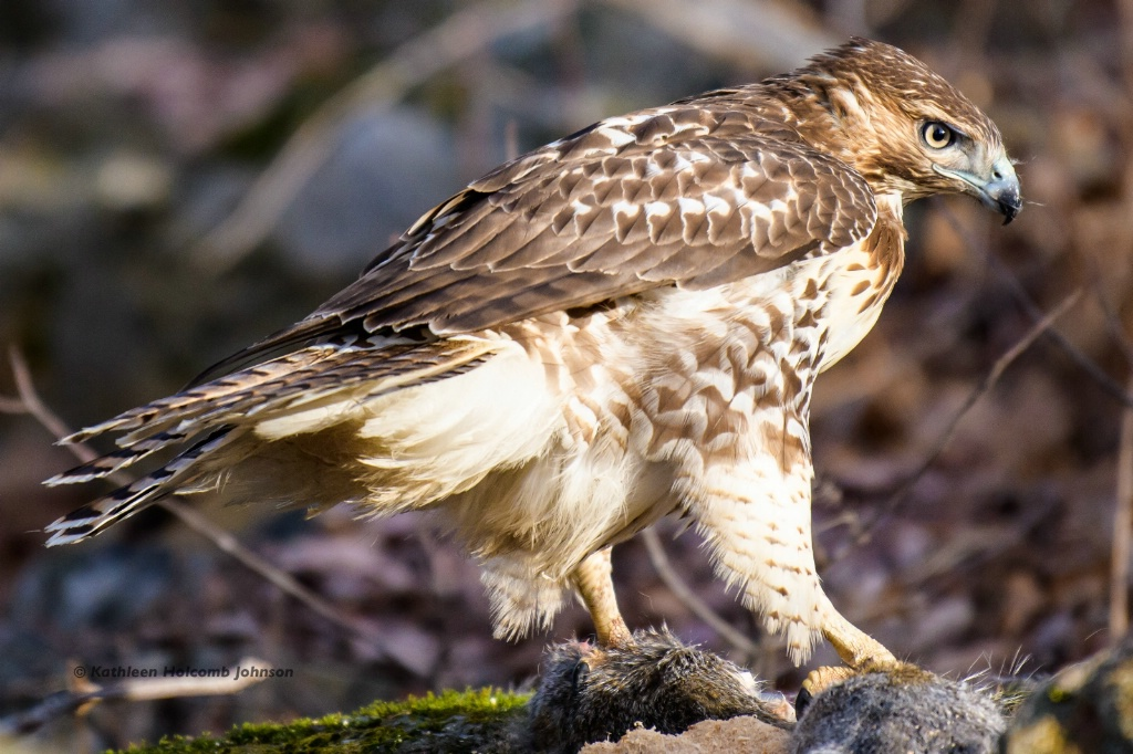 Red-shouldered Hawk - Hawk and His Meal!