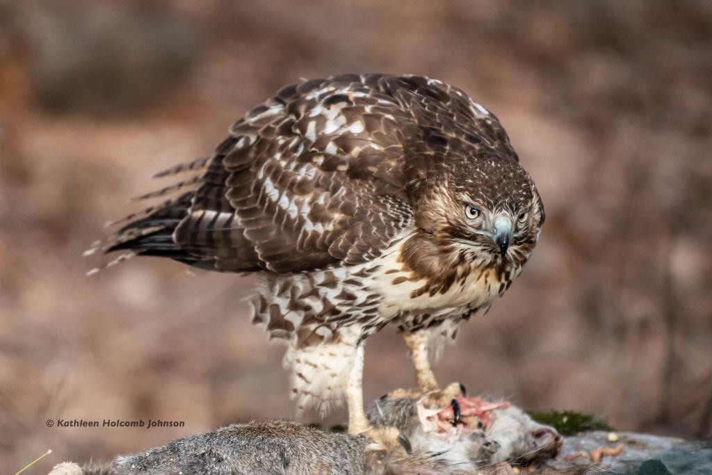 Red-shouldered Hawk - Hawks do not Share!